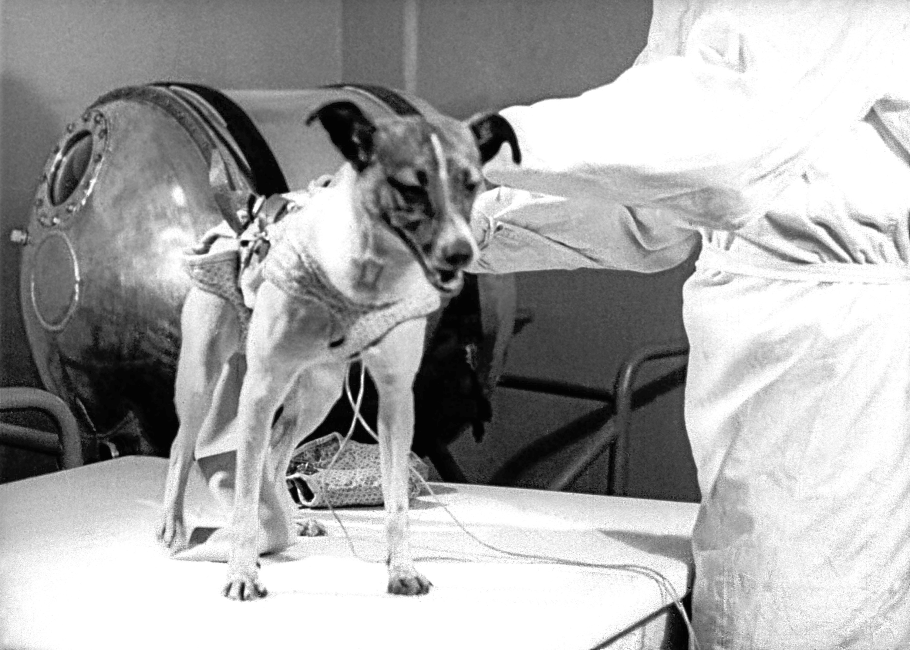 The dog Laika the first living thing to fly a spacecraft before embarking on the Sputnik 2 artificial Earth satellite 1957