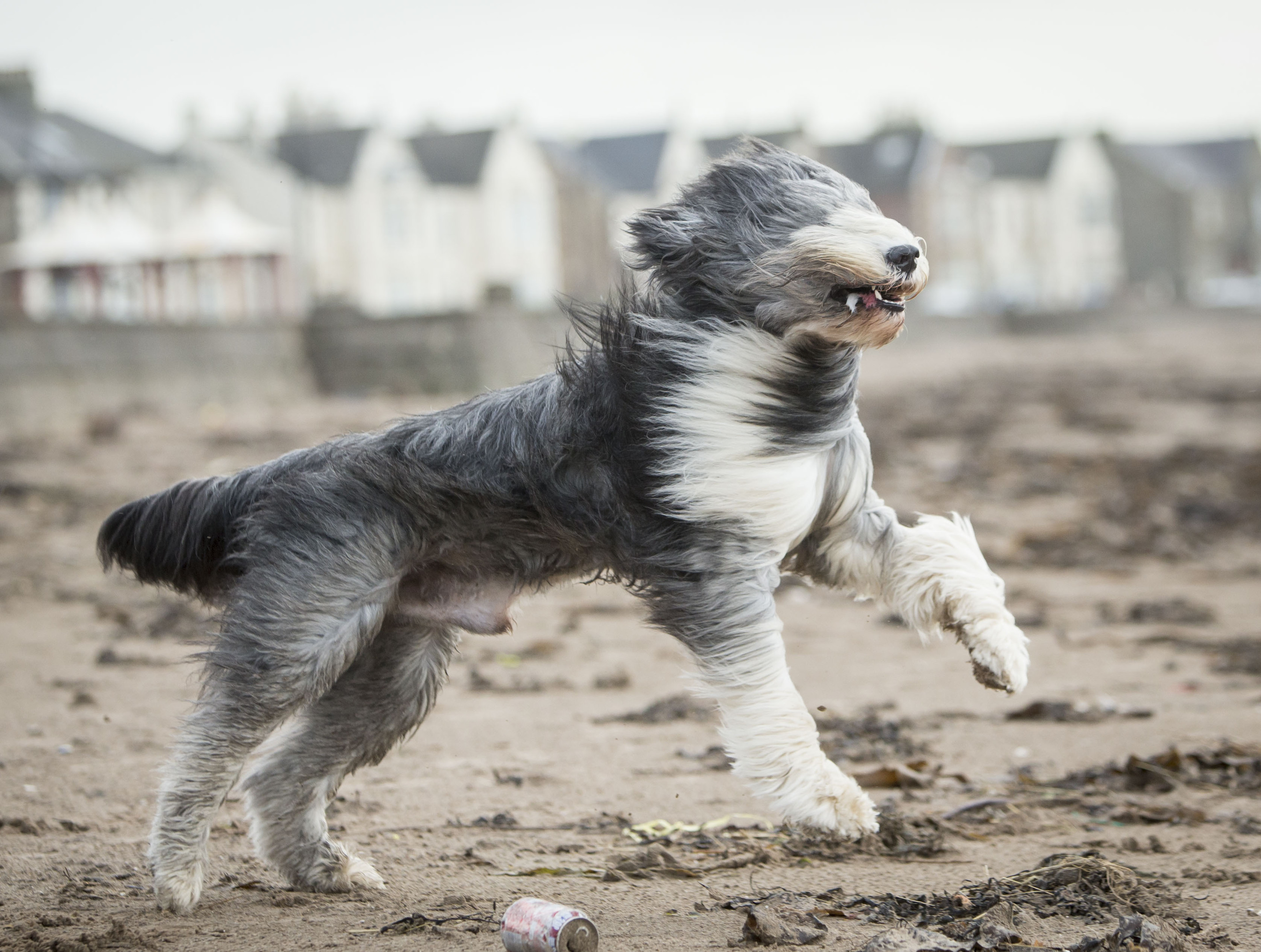 Zac the Bearded Collie on the beach in Ardrossan, Scotland, as Storm Gertrude hit the UK (PA)