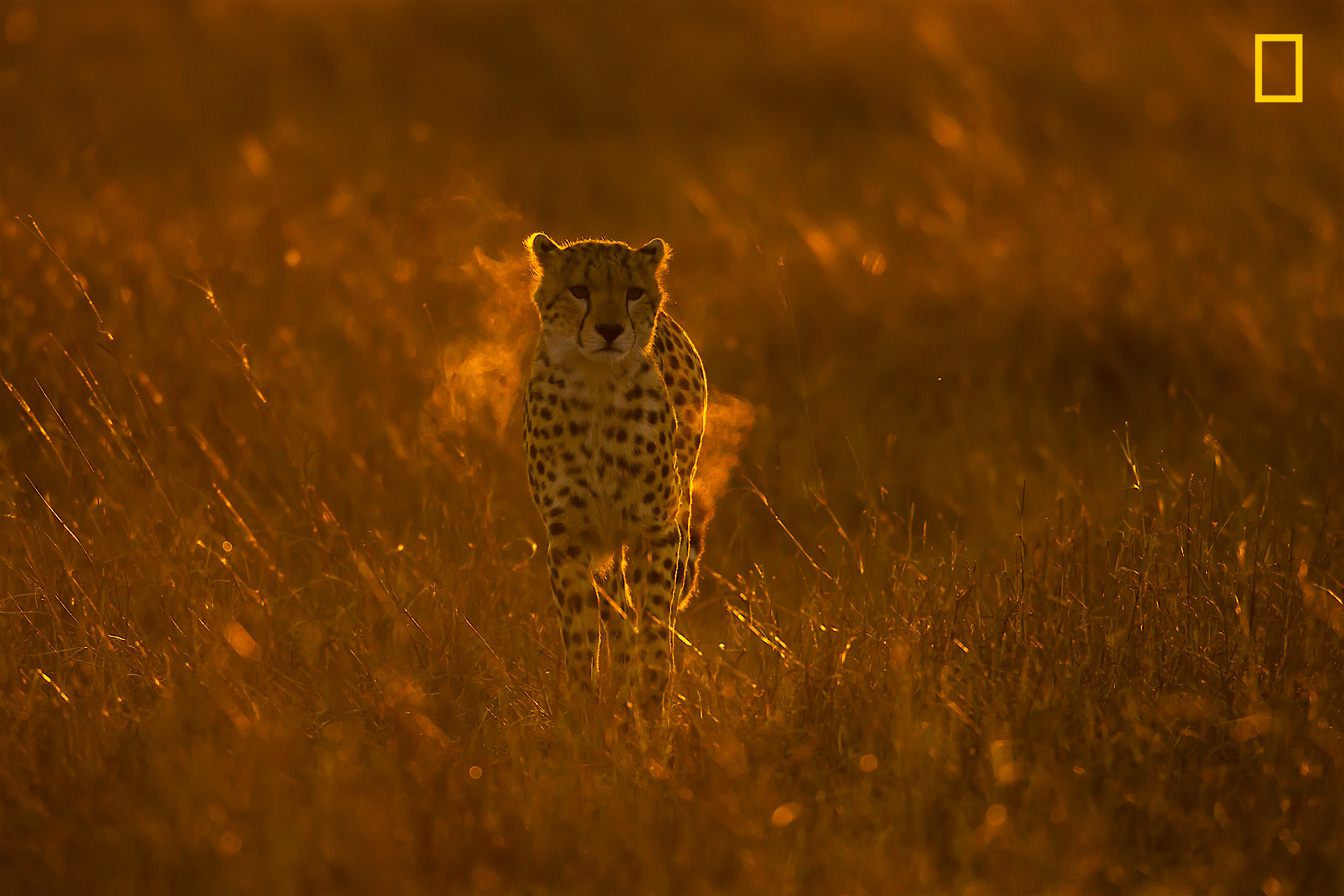 Fire in the Savannah! On a cold winter morning at the savannah, from a distance it looked like a ballof fire! Masai Mara, Africa (Jayaprakash Joghee Bojan/ 2017 National Geographic Nature Photographer of the Year)