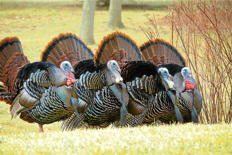 A flock of turkeys (Jeff Engel)