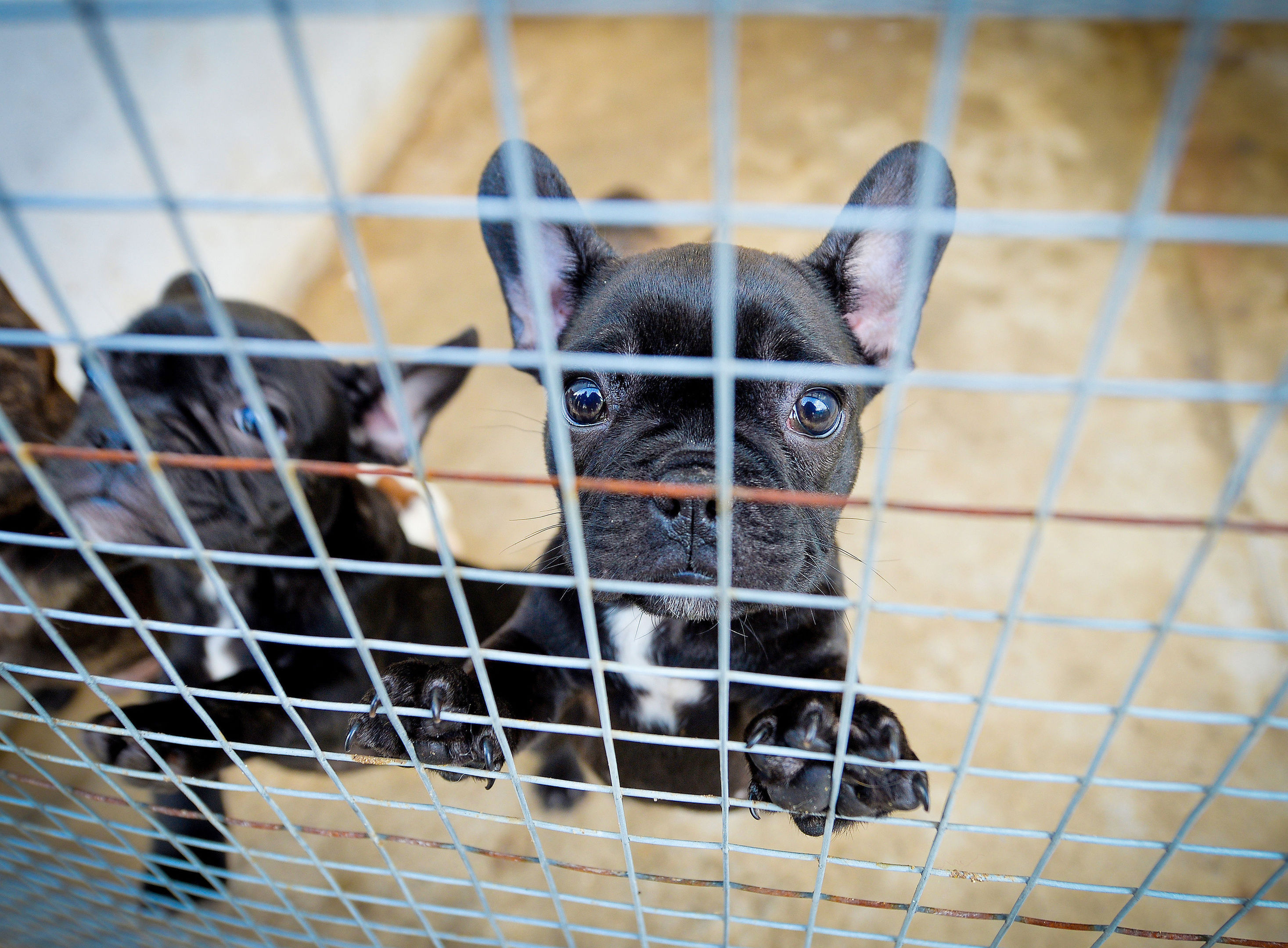 French Bulldogs which have been smuggled in to the UK as bootleg breeders are illegally smuggling thousands of puppies into Britain to meet Christmas demand, the dog welfare charity has warned. (Beth Walsh/Dogs Trust/PA Wire)