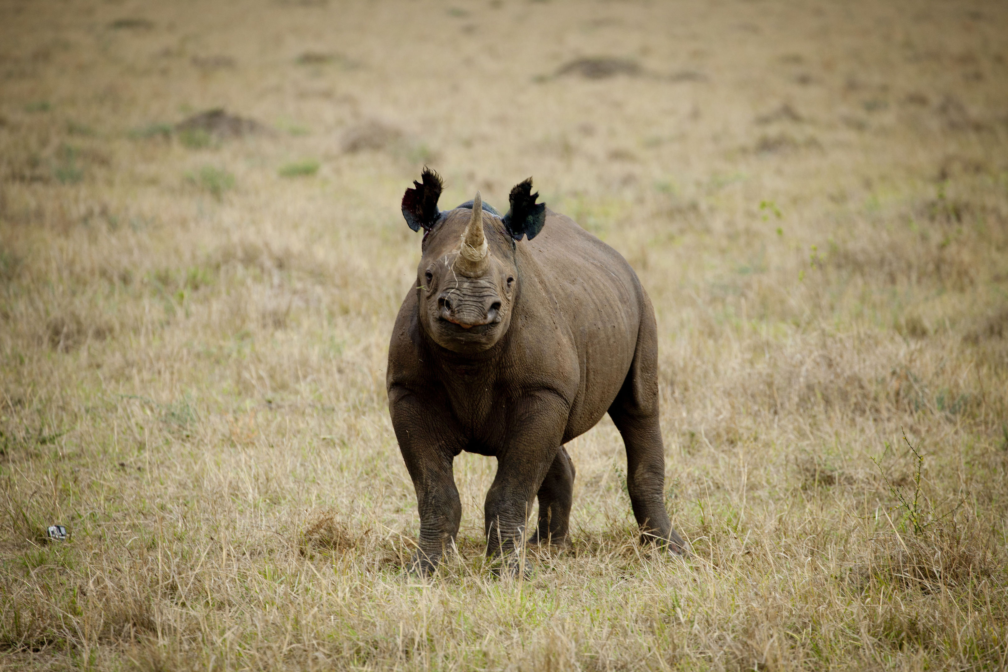 A rhino, which features on the conservation charity's list of 10 endangered species facing extinction due to illegal trade. (Greg Armfield/WWF/PA Wire)