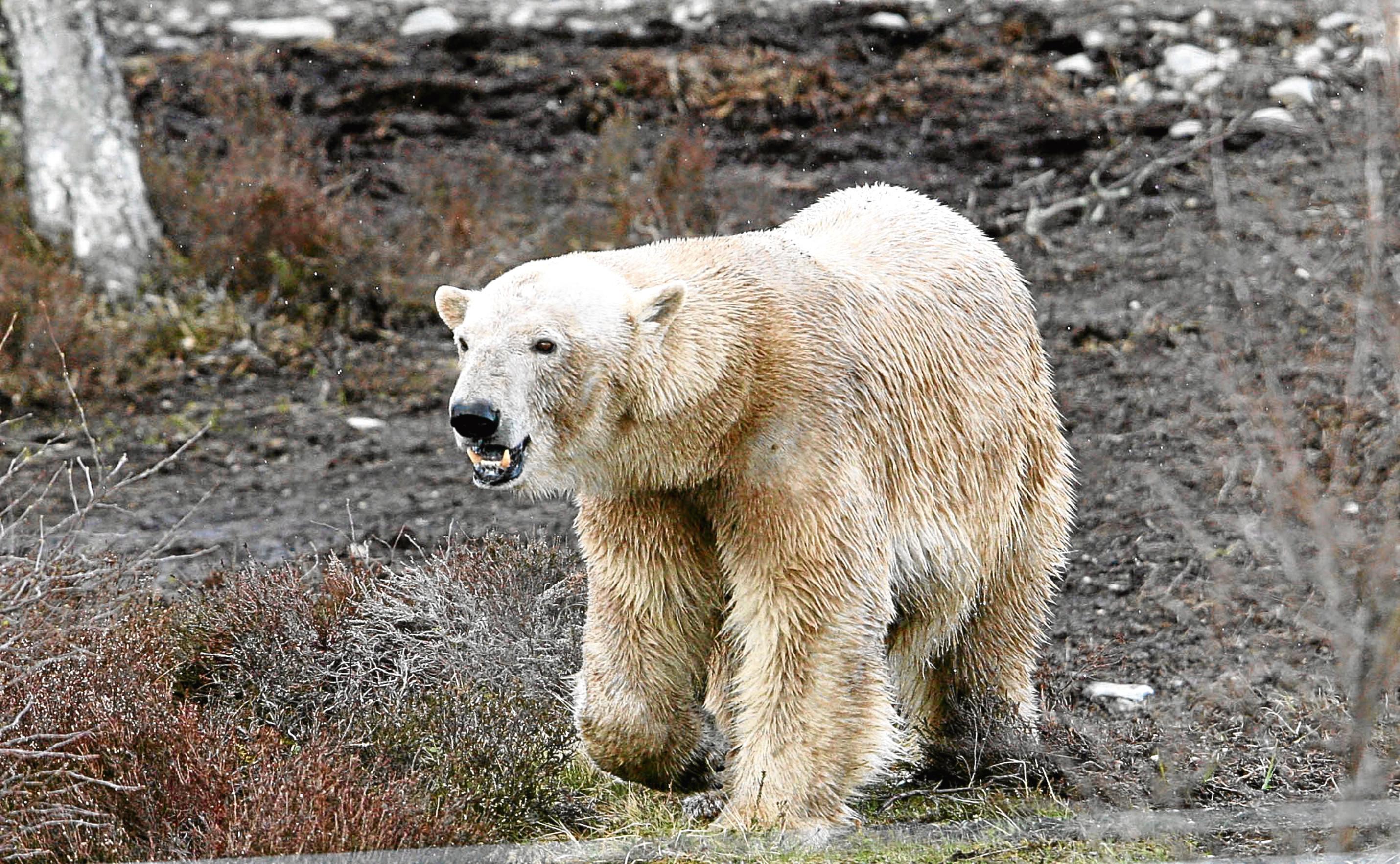 Victoria, Highland Wildlife Park's polar bear (Peter Jolly)