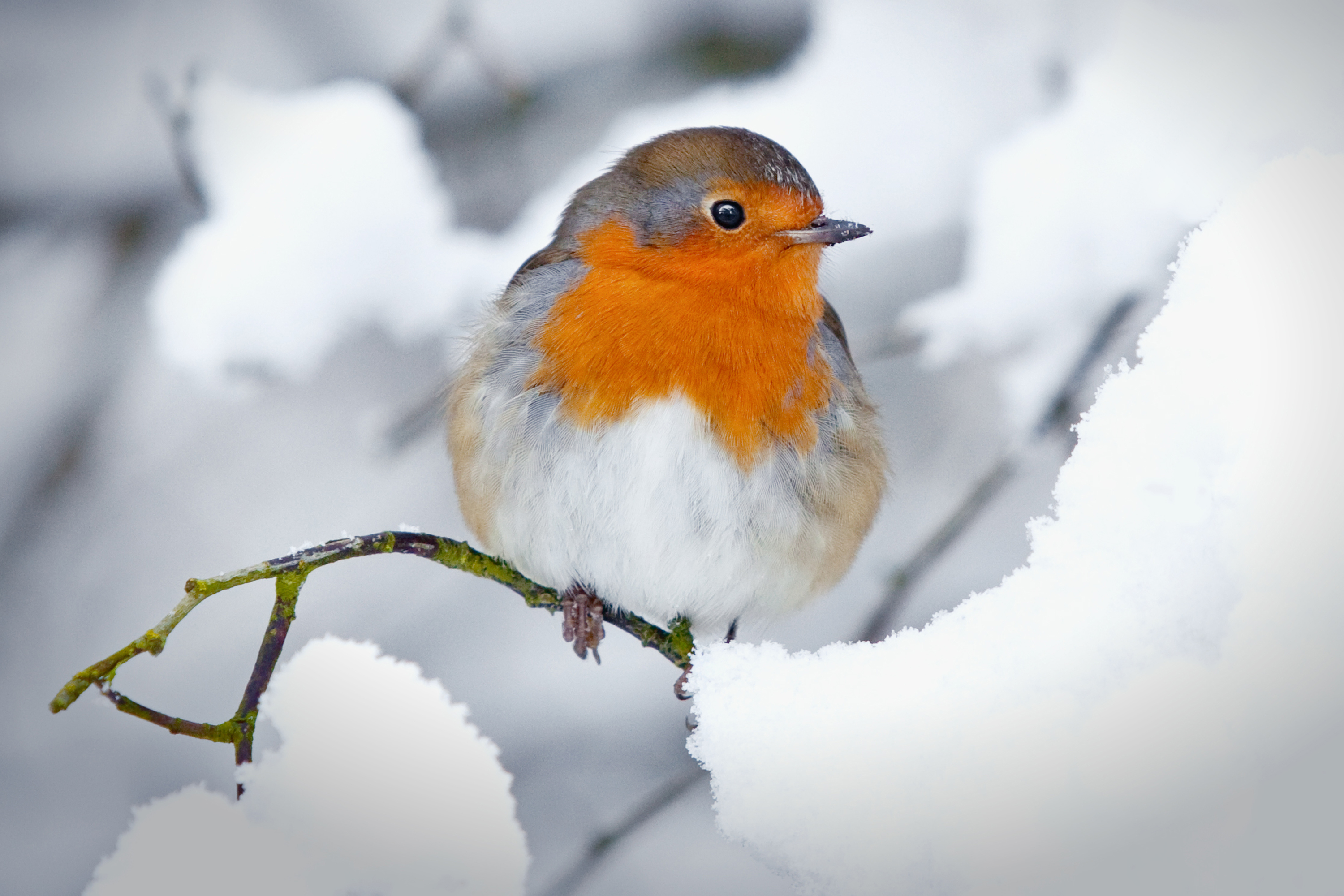 Robin in a winter snow scene sitting on a branch (iStock)