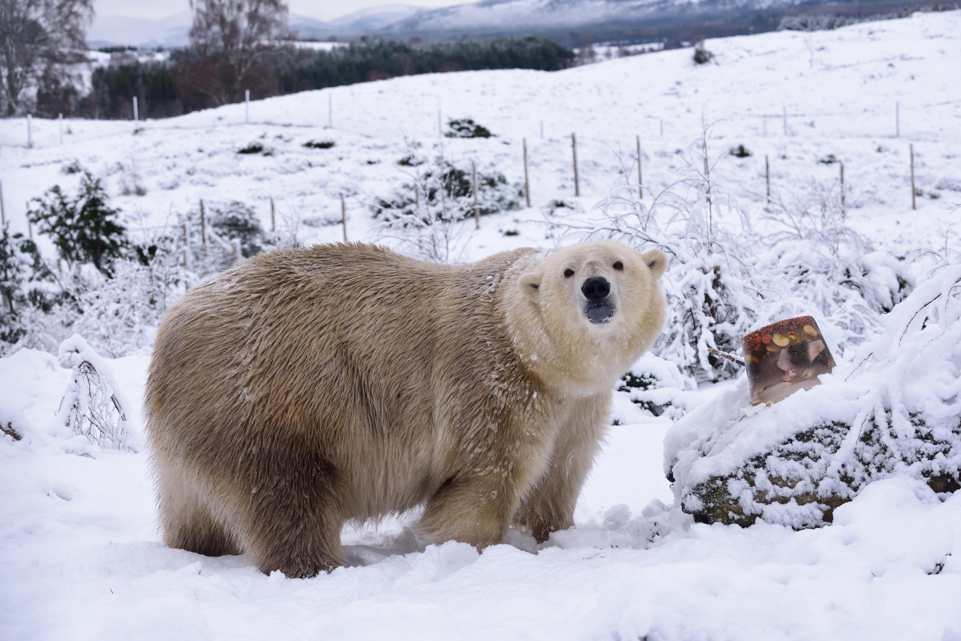 Victoria the Polar Bear (RZSS/Alex Riddell)