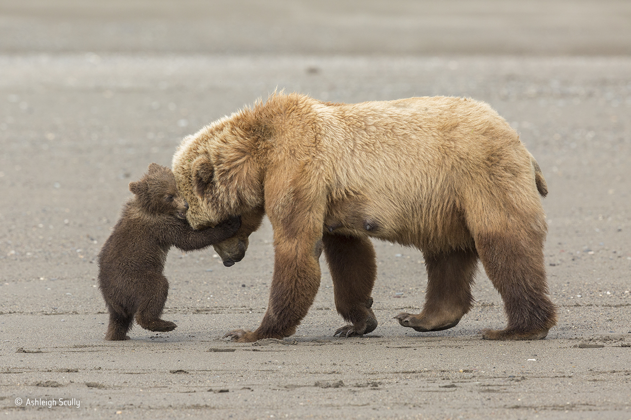 Bear Hug (Ashleigh Scully/Young Wildlife Photographer of the Year)