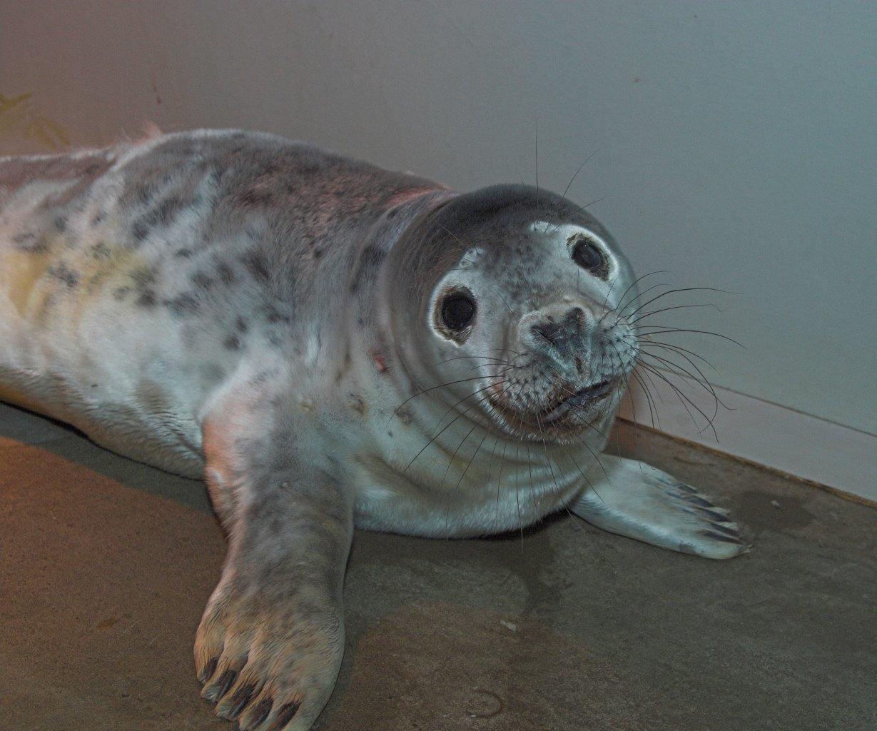Snow White the Seal (Scottish SPCA)