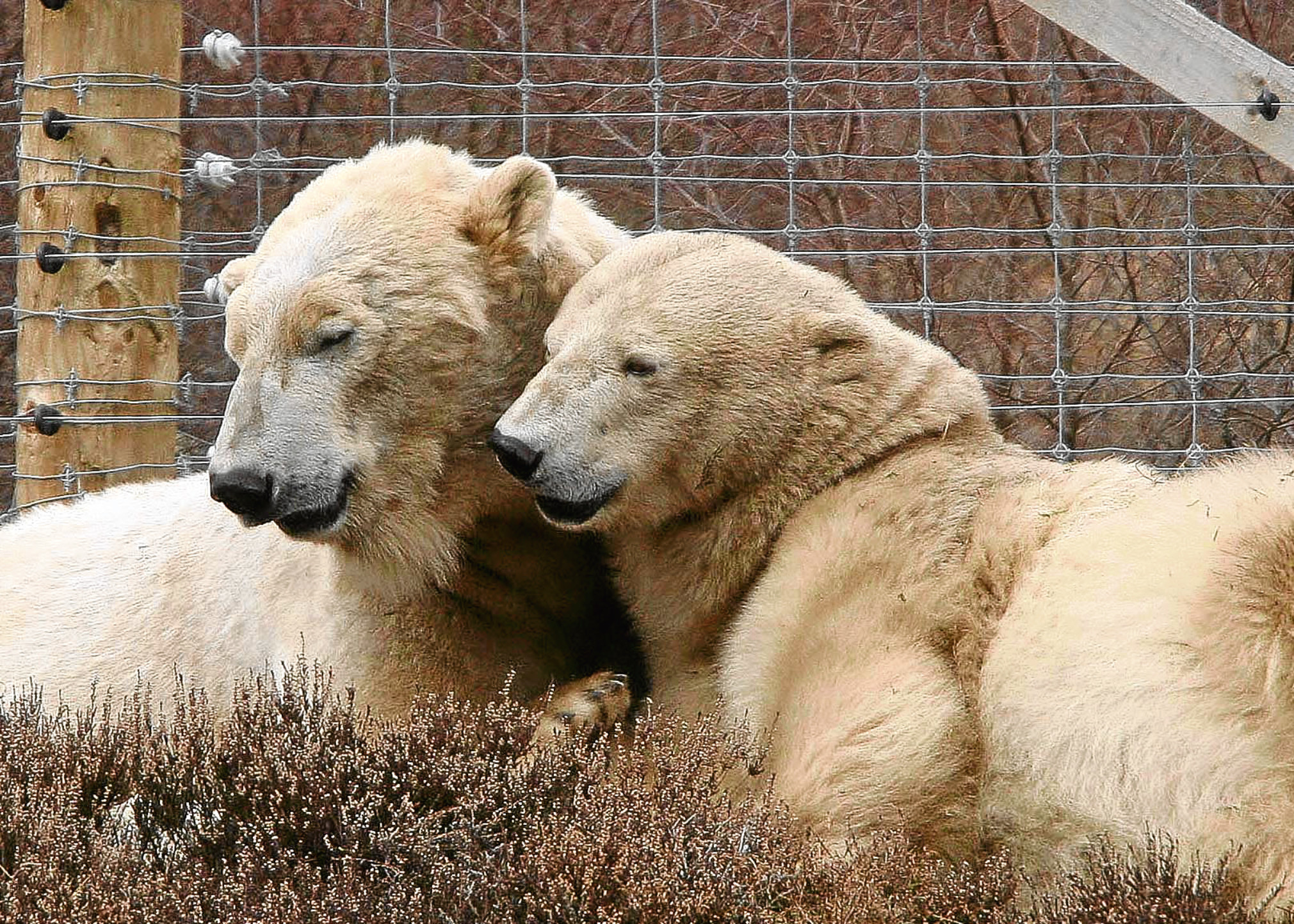 Polar bears at Highland Wildlife Park (Peter Jolly)