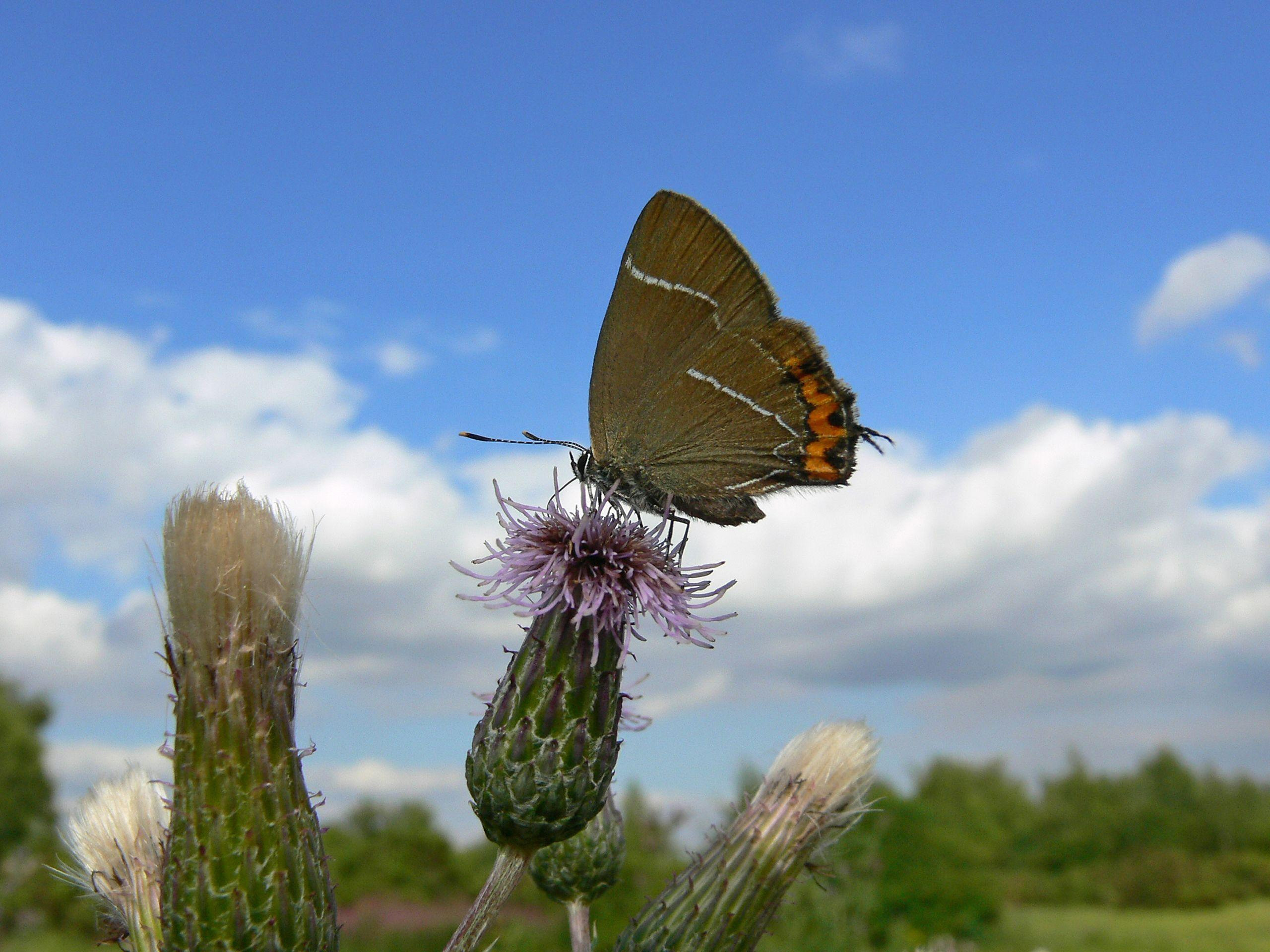 A white-Letter Hairstreak butterfly (Tim Melling/Butterfly Conservation/PA Wire)