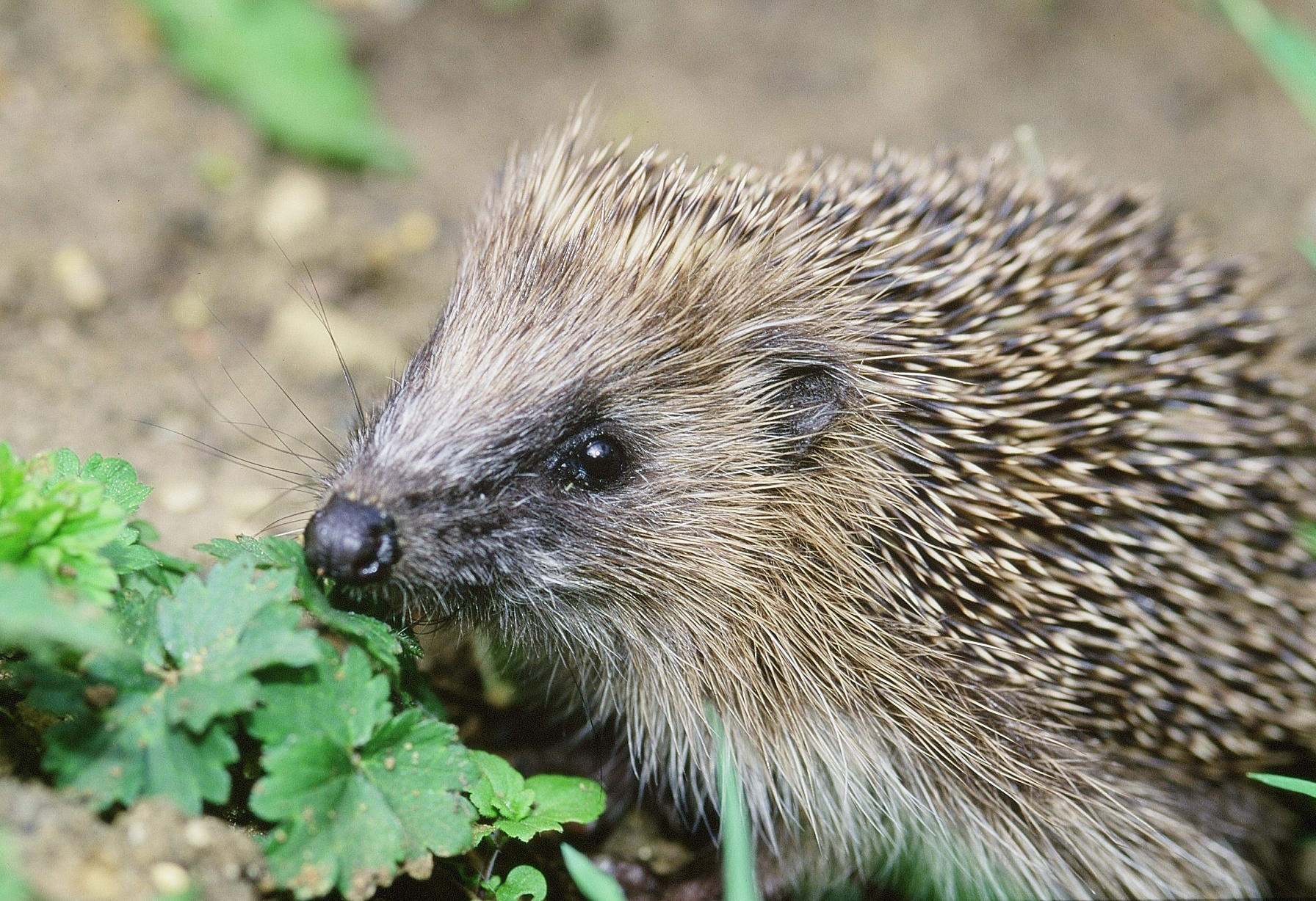 Hedgehog numbers in the countryside have halved since the turn of the century, a new report warns (Stephen Oliver/PTES/BHPS/PA Wire)