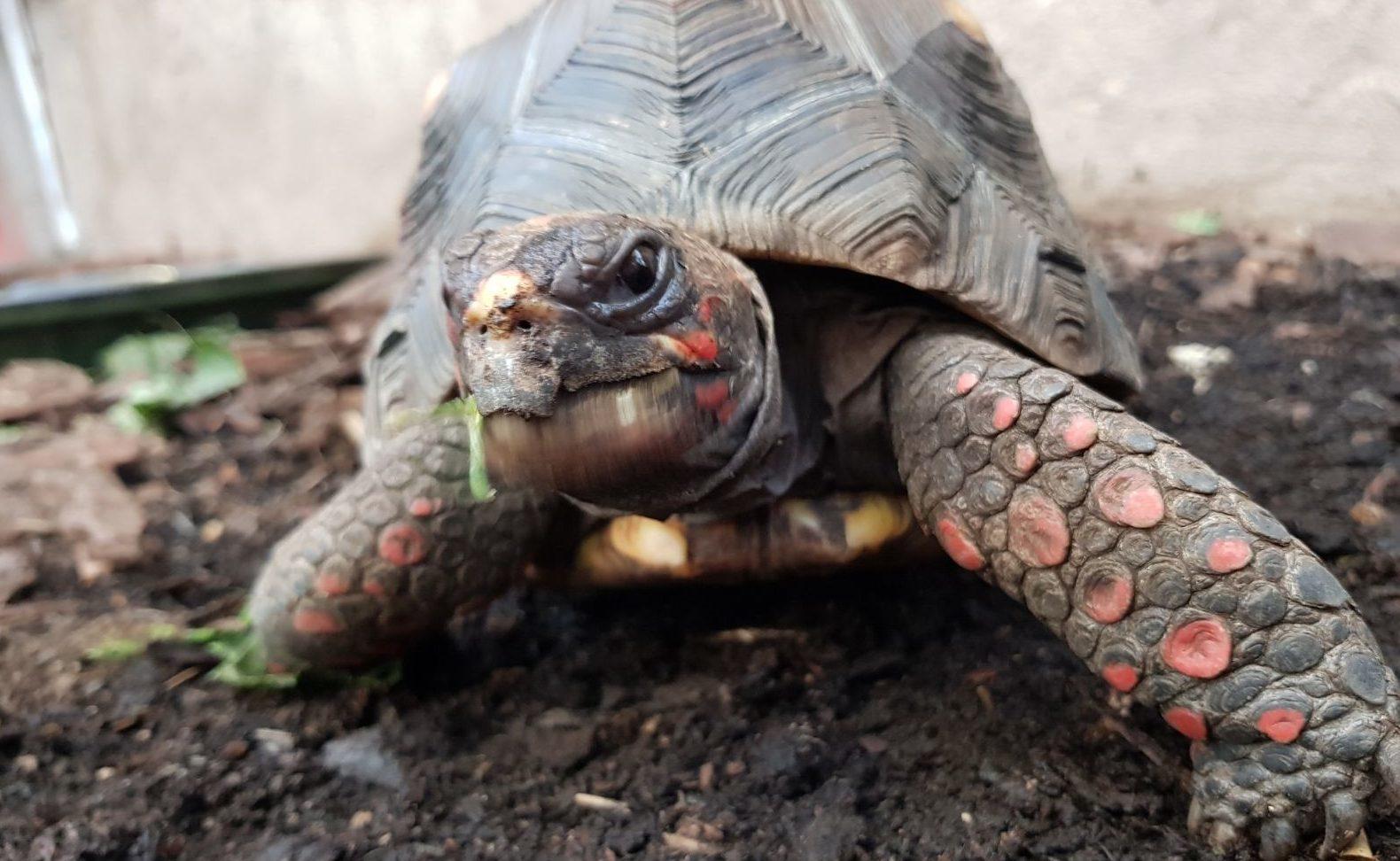 Huck the tortoise was stolen yesterday (Police Scotland)