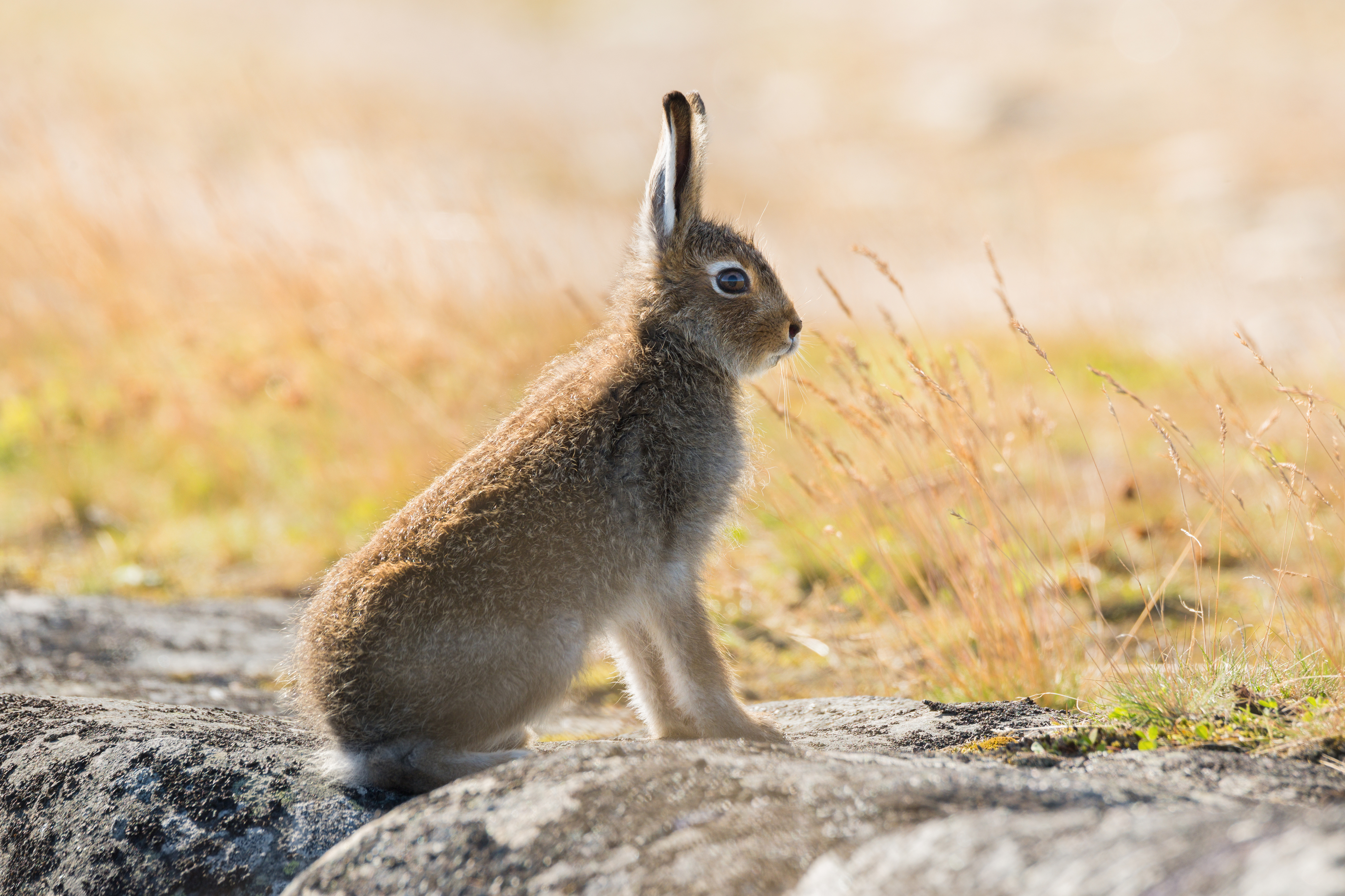 Mountain hare (Getty Images)