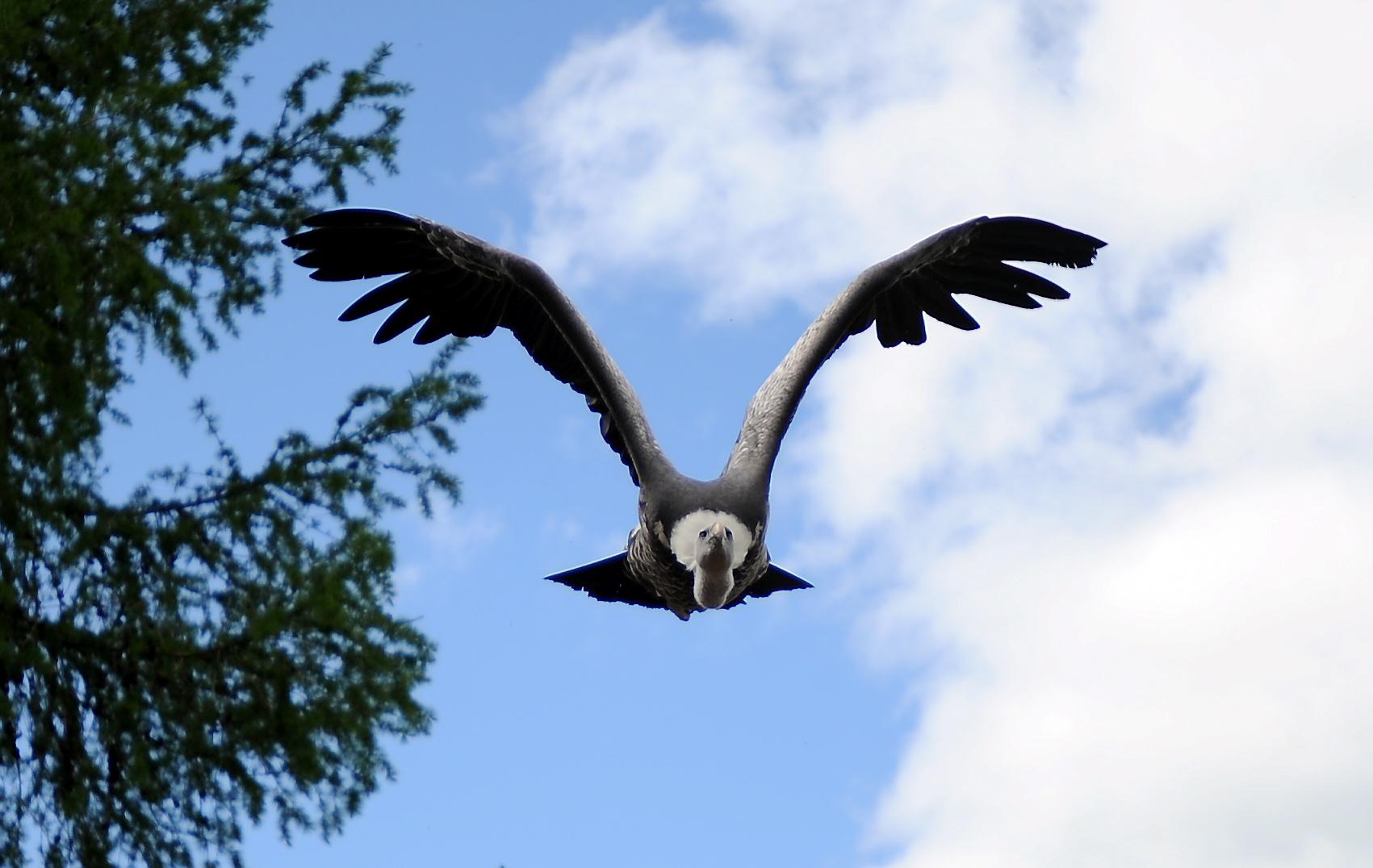 A Vulture at Blair Drummond Safari Park (Darrell Benns / DC Thomson)