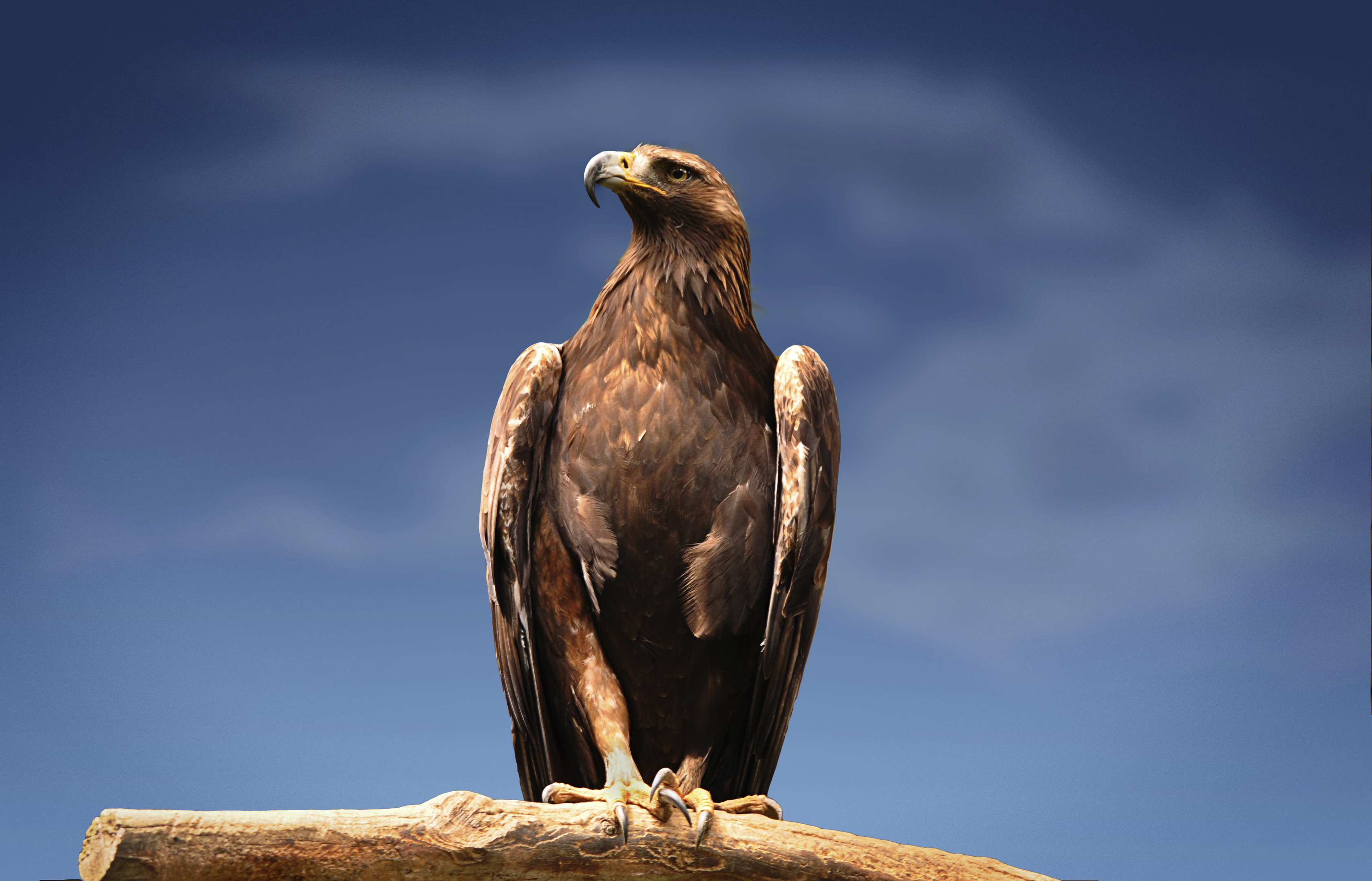 A Golden Eagle (Getty Images)