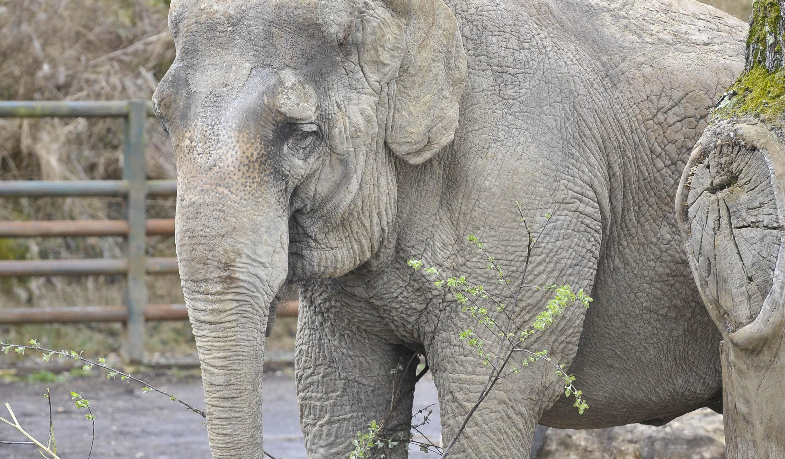 Anne the rescued elephant in her enclosure at Longleat Safari Park (PA Archive)