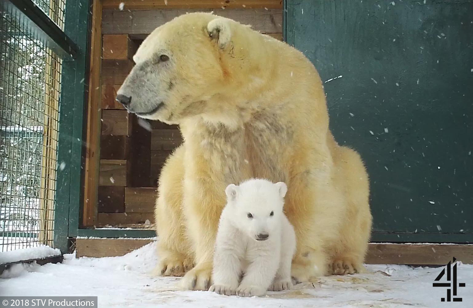 The first polar bear cub to be born in the UK for 25 years has emerged at the Royal Zoological Society of Scotland's Highland Wildlife Park. (RZSS)