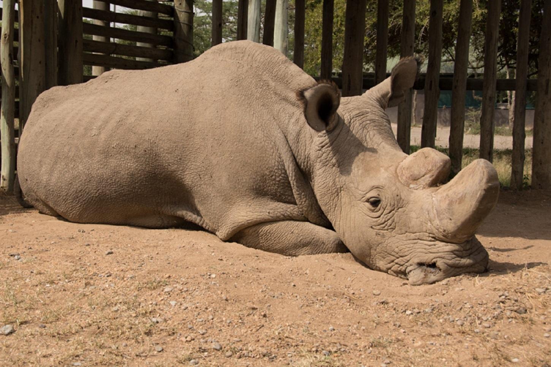 The world's oldest white male rhino, Sudan, has died aged 45 (Ol Pejeta)
