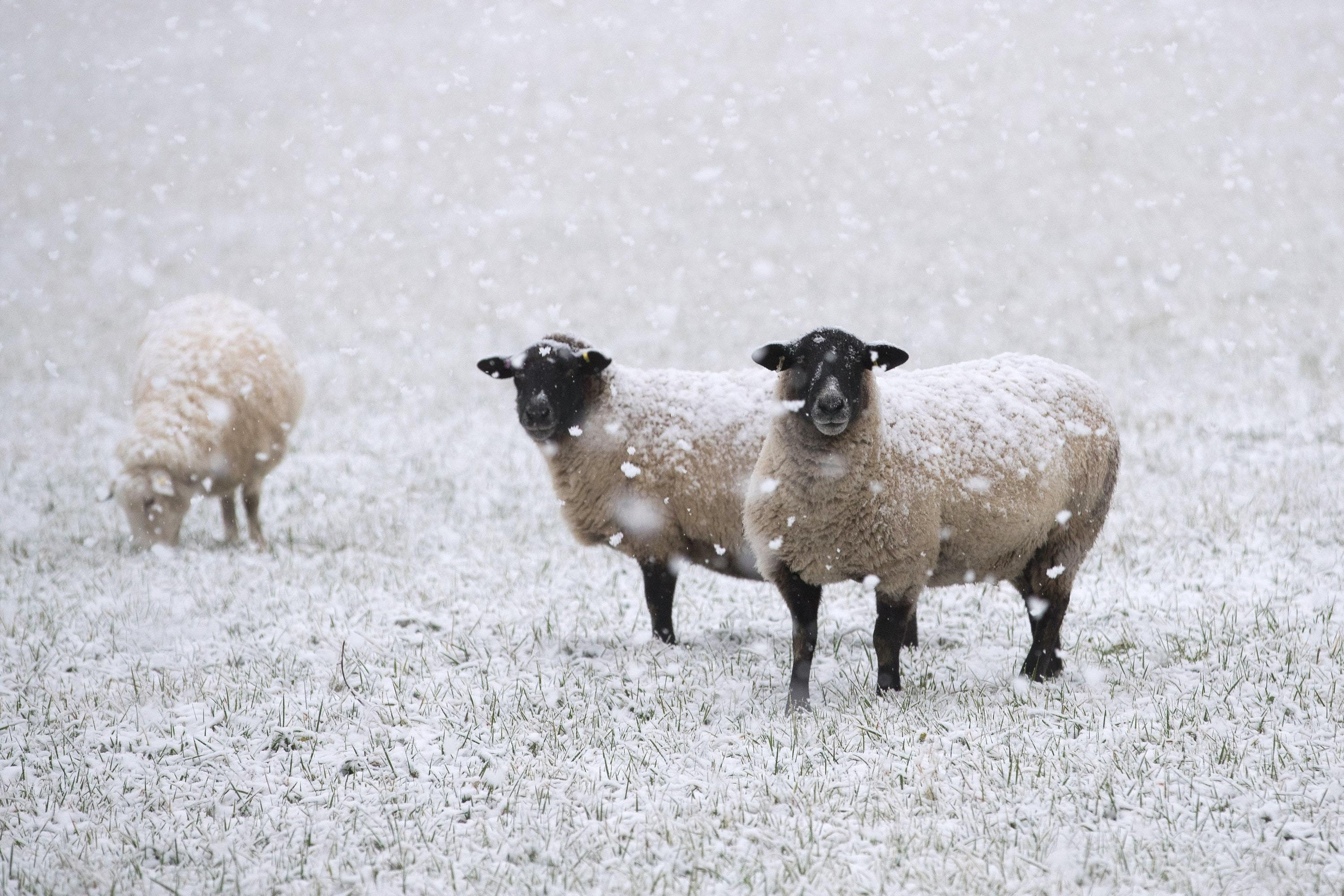 The sheep was filmed being dug out of a snowbank in mid Wales (Aaron Chown/PA)