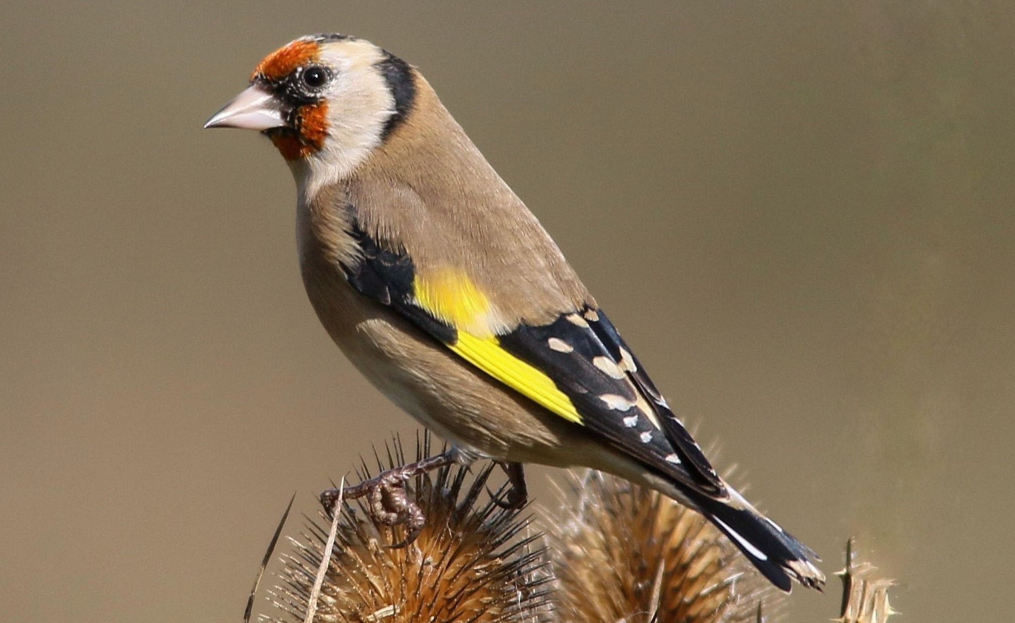 Goldfinch (Getty Images)