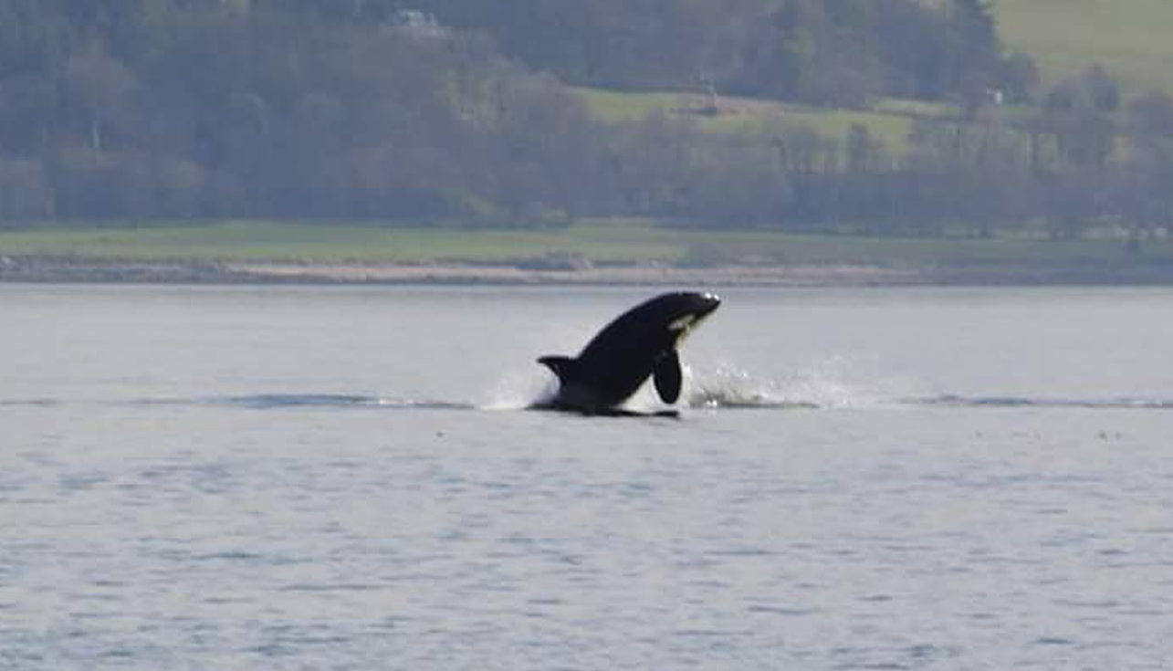 A killer whale, one of a pod of orcas spotted in the River Clyde near Dunoon