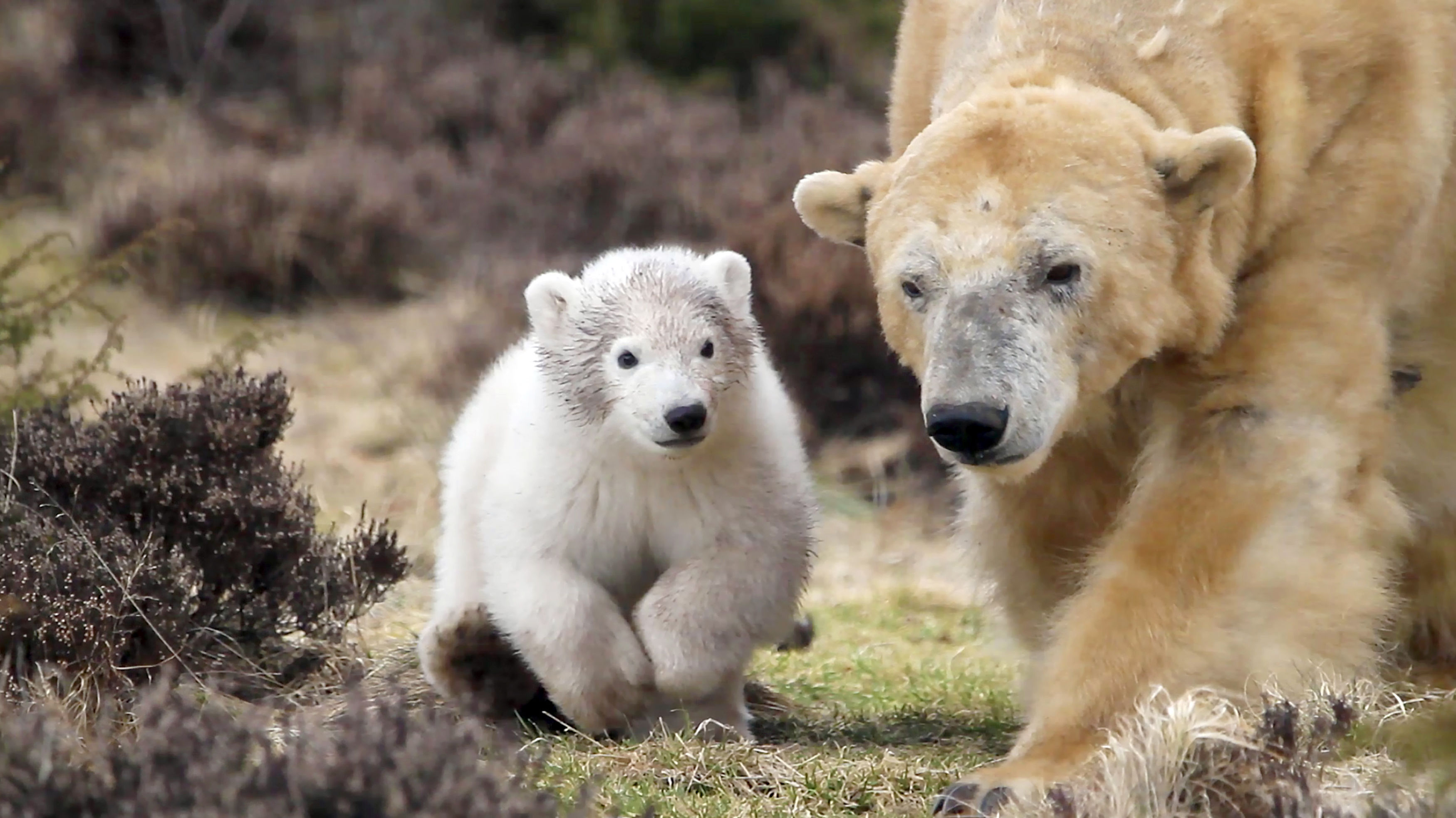 Victoria and her cub, the first to be born in the UK in twenty-five years (Jon Paul Orsi/RZSS/PA Wire)