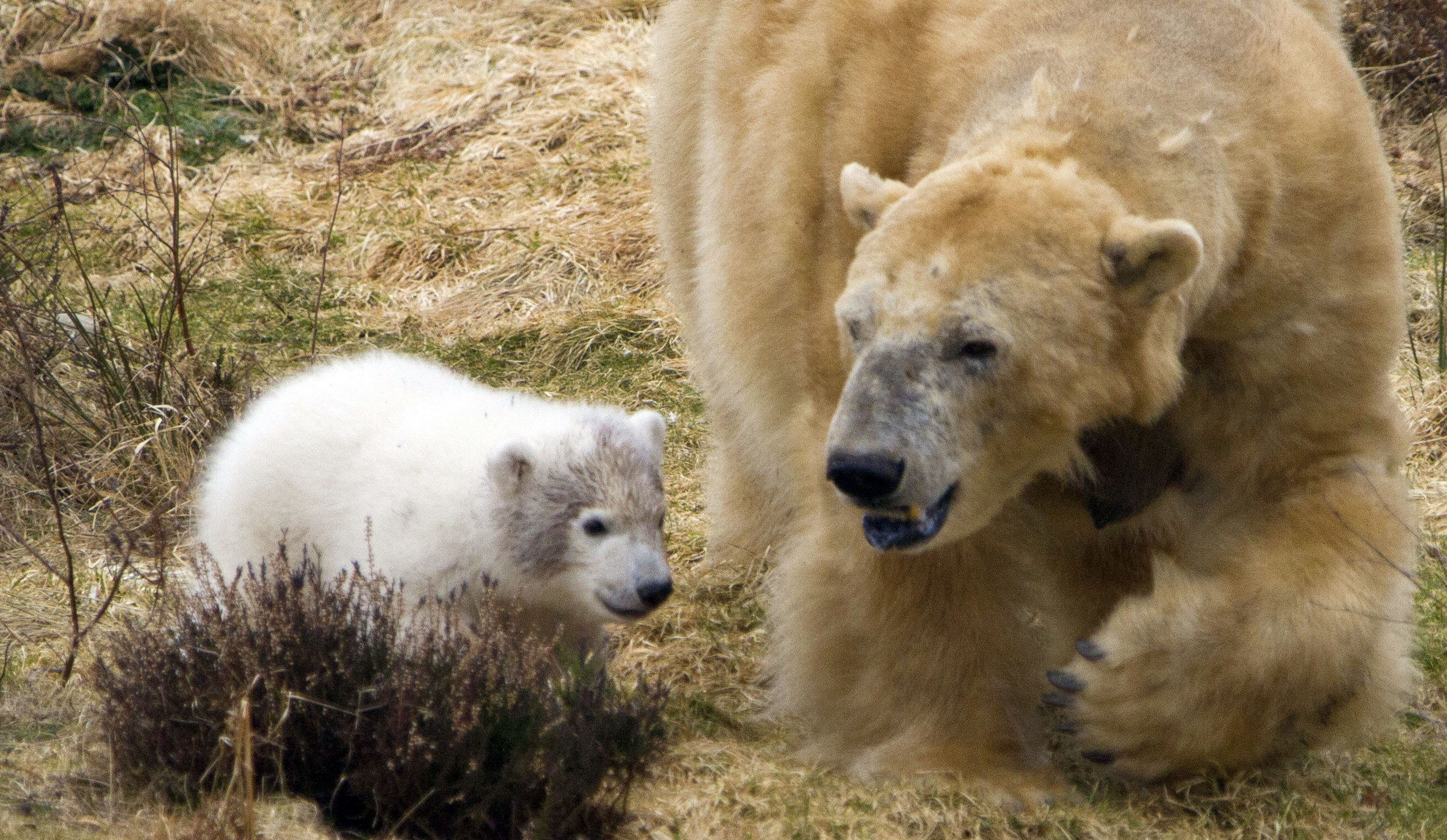Polar bear Victoria and her cub Hamish (Jon Paul Orsi/RZSS/PA Wire)