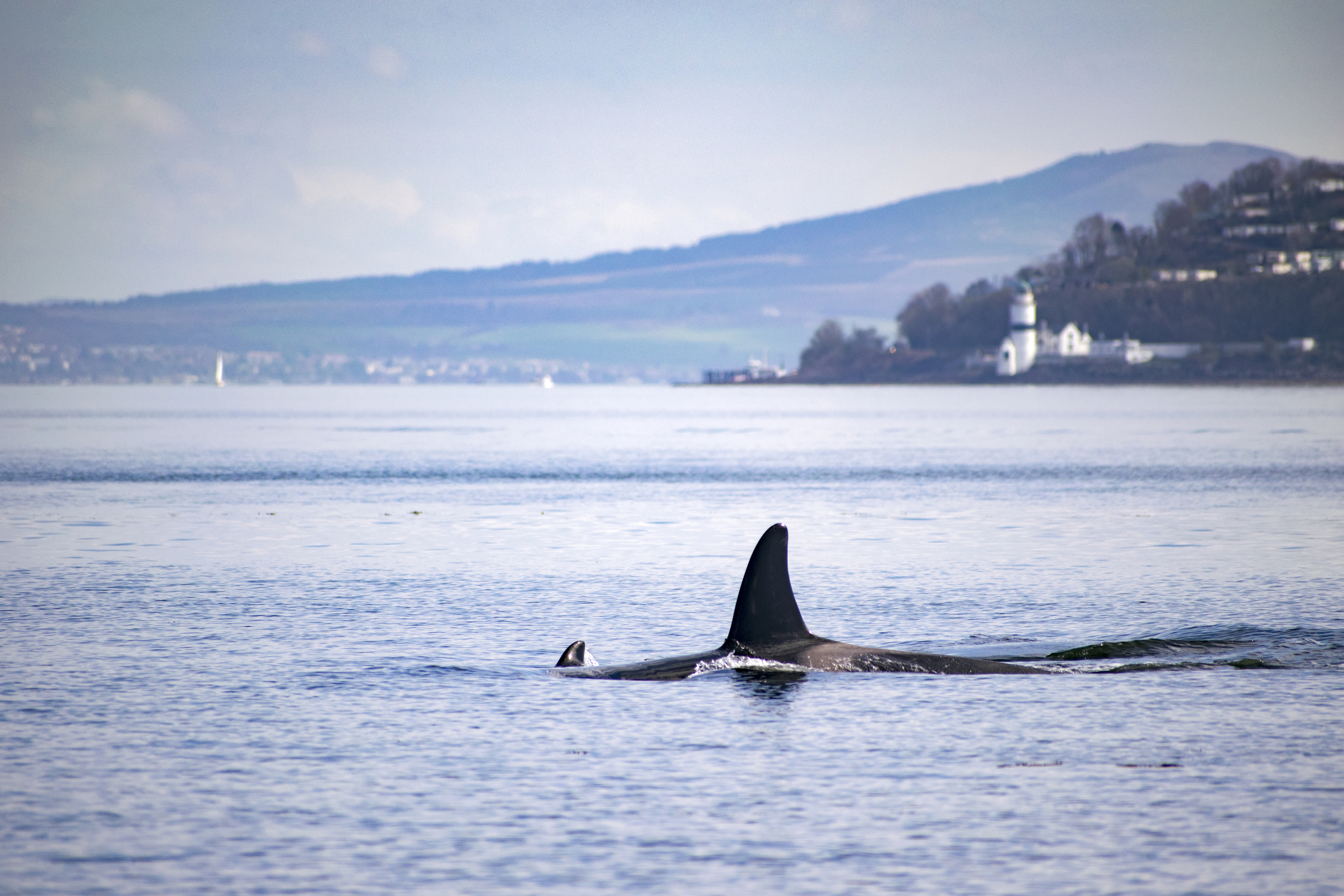An orca whale on the Clyde earlier this year (Grant Gillon)