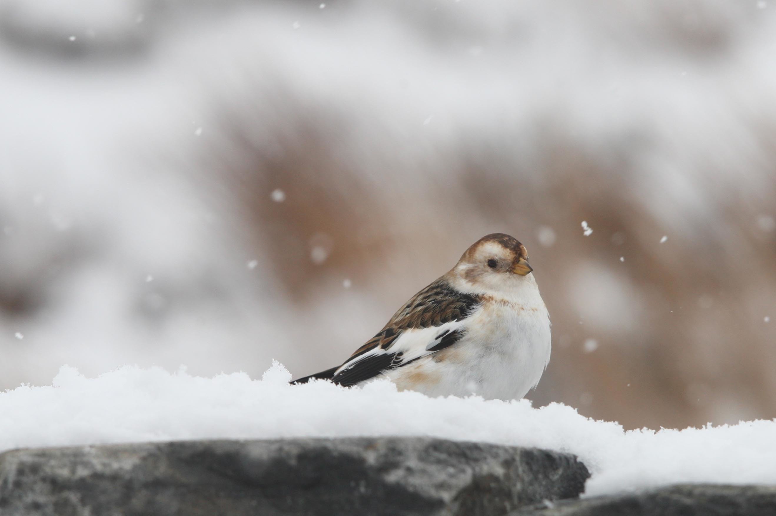 A snow bunting sits on a snow covered wall in Cairngorms National Park (Peter Jolly)