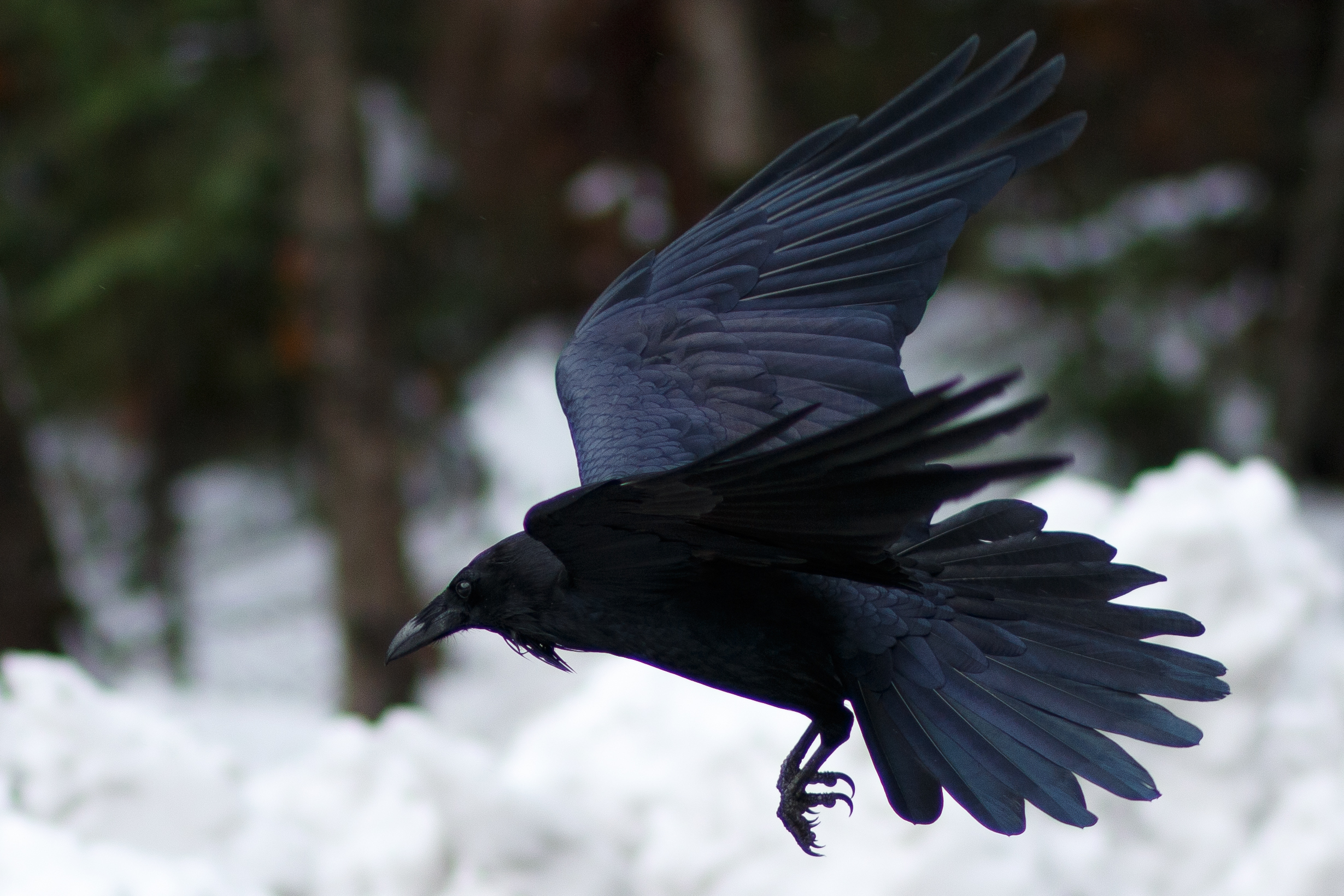 The raven is making a comeback (David Hoffmann / Getty Images)