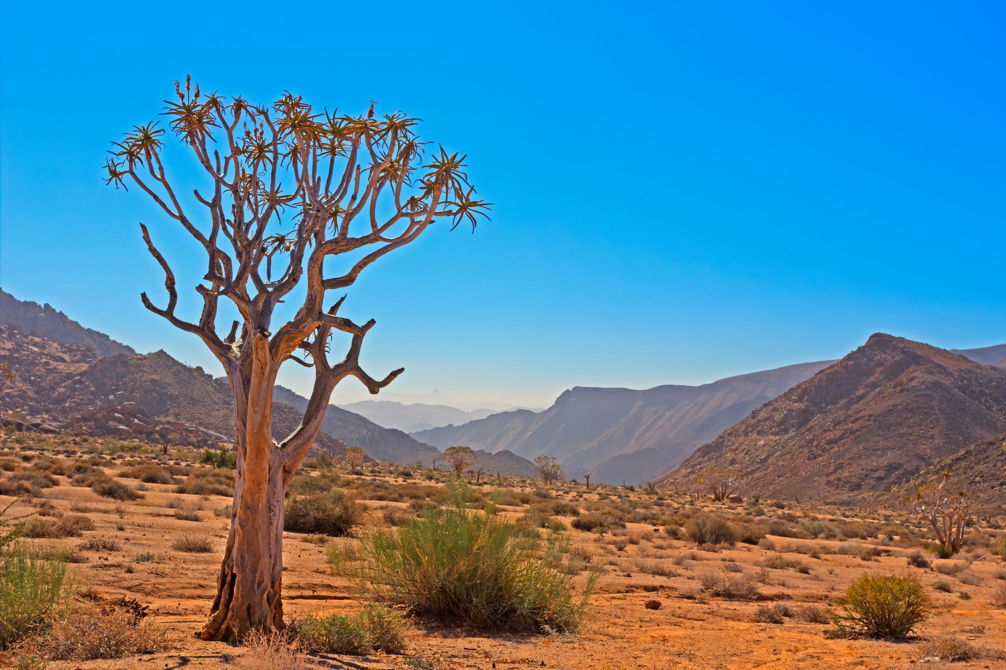 Kokerboom Tree in Arid Valley Richtersveld (Getty Imgaes/iStock)