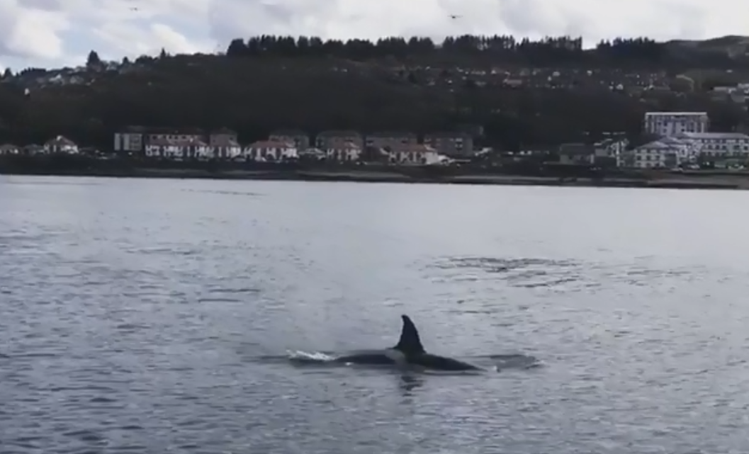 Orca whale off Dunoon (Lindsay Moss / Facebook)