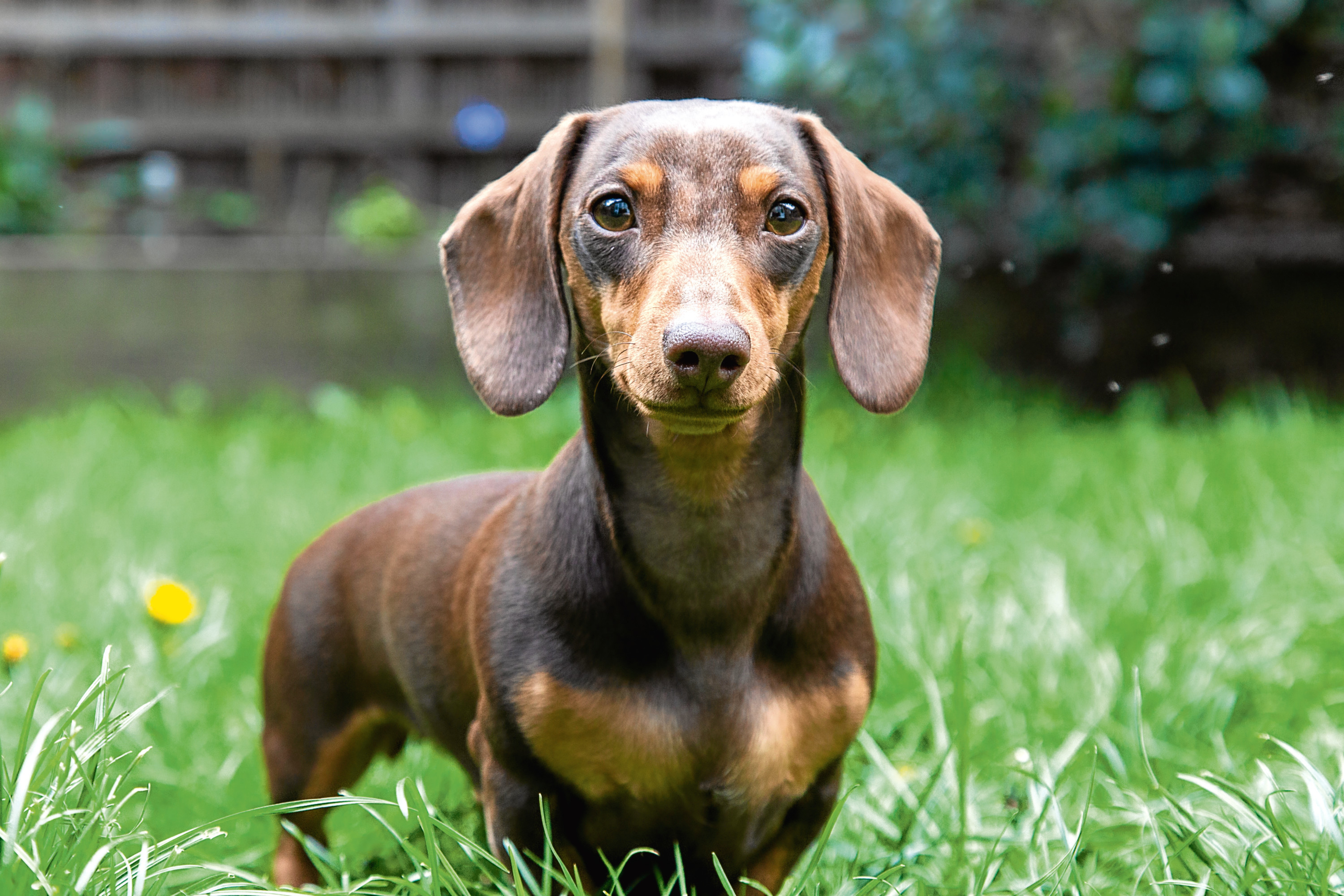Dachshund-lovers are delighted by the new attraction