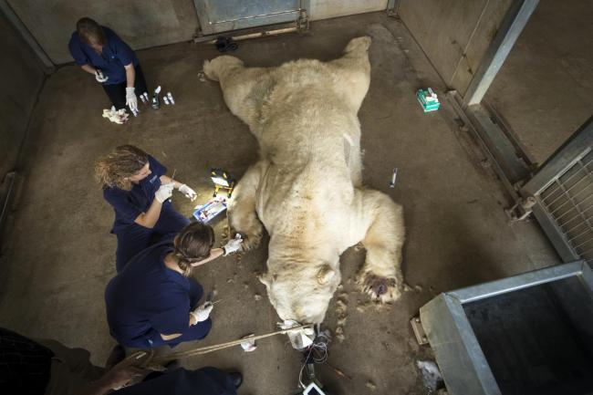 Victor the polar bear receiving allergy testing. (PA)
