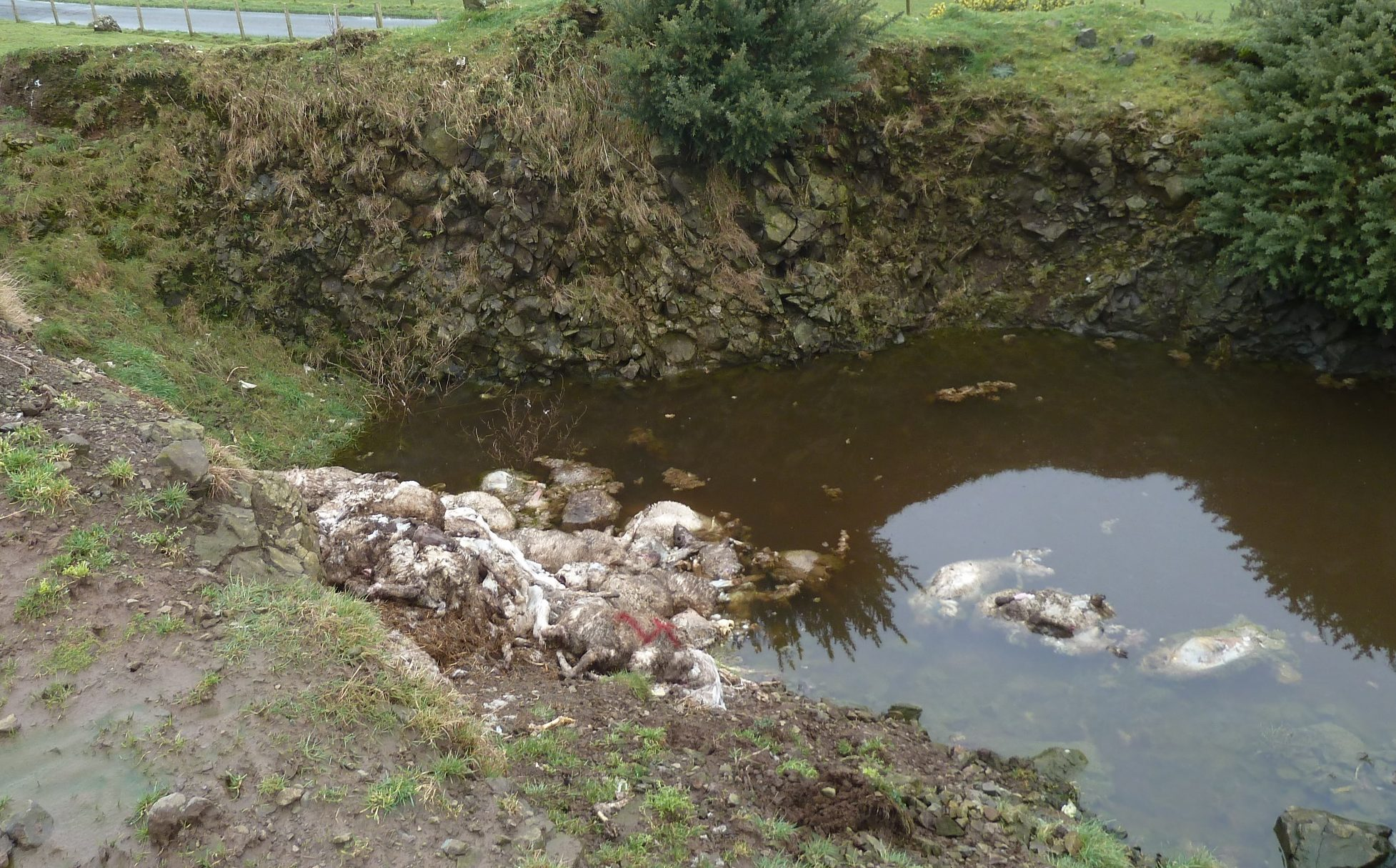 Sheep carcasses were found dumped in an open pit.