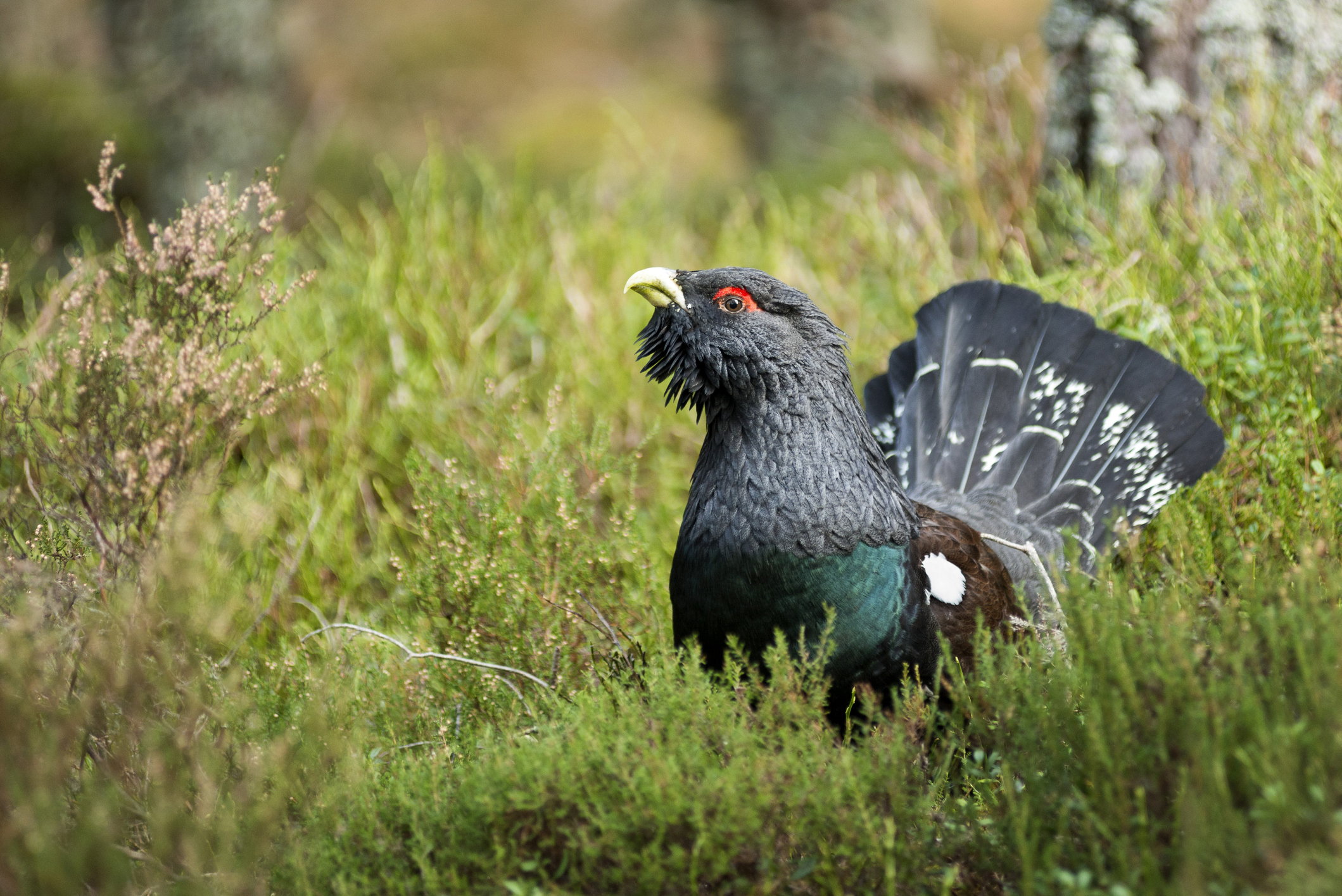 Capercaillie (Getty Images)