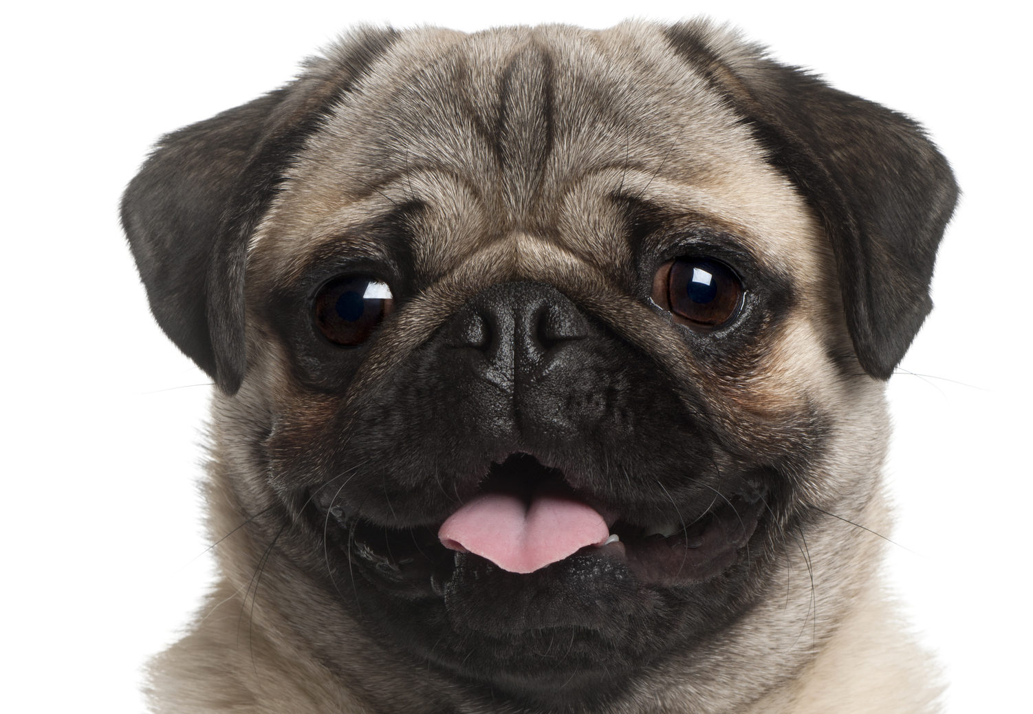 Illegal pug sales are up by a third