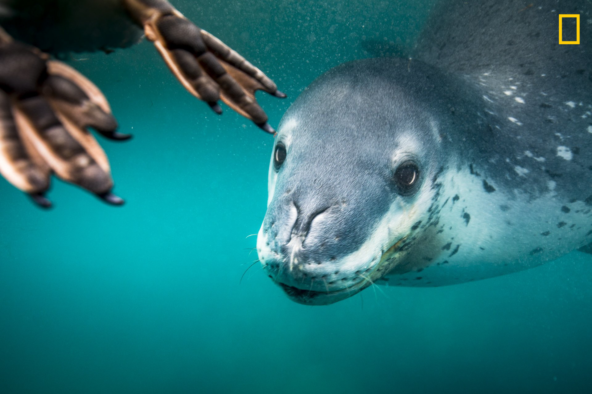PHOTO AND CAPTION BYRITA KLUGE/ 2019 NATIONAL GEOGRAPHIC TRAVEL PHOTO CONTESTOn my last day in Antarctica, I was posting my last video update, I heard what I was waiting for and documented what was to come. A leopard seal was feeding on a penguin ... Iwas in a 7mm free-diving suit to be more flexible to change positions quickly. A normal encounter would be 20 minutes or so and I wouldn't be too cold afterwards, but this day was different, as we swam with three different leopard seals—brrrr. I felt safebeing so close to the action with my team. Just amazing.