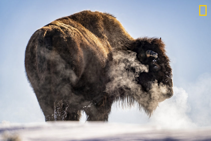 PHOTO AND CAPTION BYTAYLOR ALBRIGHT/ 2019 NATIONAL GEOGRAPHIC TRAVEL PHOTO CONTESTThe days are much shorter inwinter and the different elevations within Yellowstone National Park initiates even earlier sunsets. With the evening closing in and temperatures dropping, a herd of bison made their way up and over a frozen hill in search of their next meal. As I watchedthe group fade out of sight the last bison in line paused, turned back in my directions, took a breath and exhaled creating a thick cloud of steam before continuing over the hill and out of sight with the others.