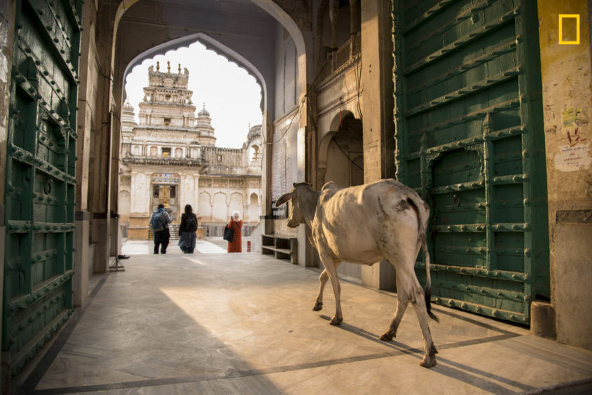 PHOTO AND CAPTION BYELLEN DORE/ 2019 NATIONAL GEOGRAPHIC TRAVEL PHOTO CONTESTCows such as this one in Pushkar, India, have free rein to wander as they please. As this one approached the entrance of a temple in Pushkar, dedicated to Vishnu, people made way for the cow to enter.