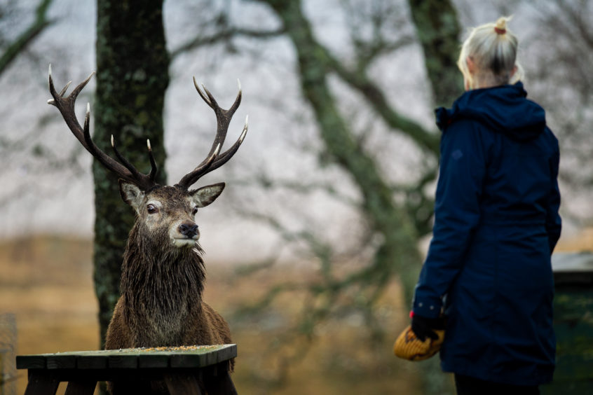 Deer green place: Our photographer Andrew Cawley was on hand to capture Jan Robinson's close encounter with a stag close to the hostel