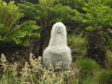 Tristan Albatross chick, one of the many endangered animals around the planet thanks to invasive, human-introduced species.