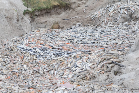 An enormous dump of millions of dead salmon by the fish farming industry in the north west of Scotland revealed this week.