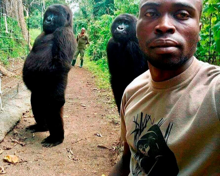 Mathieu Shamavu poses for a photo with orphaned gorillas Nkakazi and Ndeze in Virunga national park in the Democratic Republic of the Congo