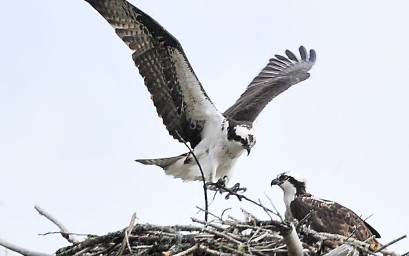 A male osprey brings a twig to his female mate to build their nest before eggs are laid