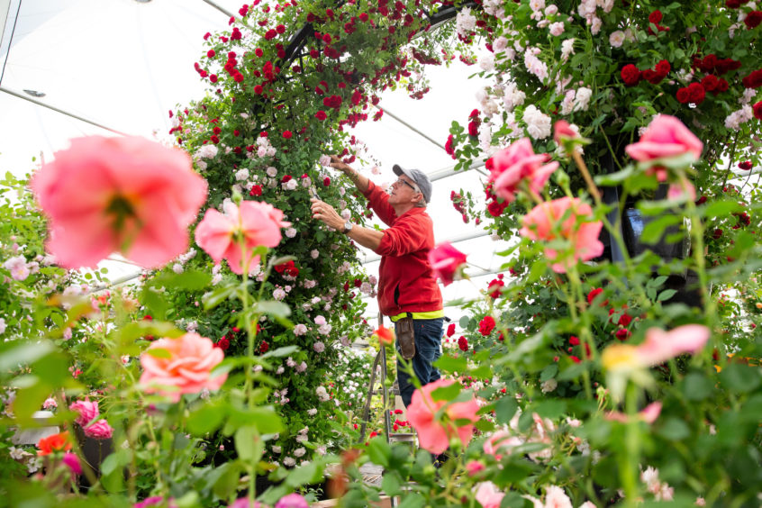 A green-fingered entrant prunes roses during preparations for the Royal Horticultural Society's Chelsea Flower Show in London