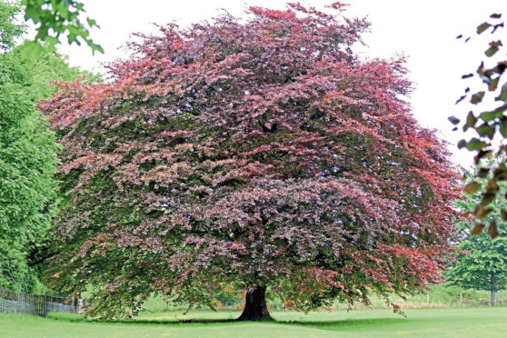 A fagus sylvatica purpurea or copper beech tree. Trees have had a special place in our culture for thousands of years
