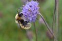 A Great Yellow Bumblebee in Orkney
