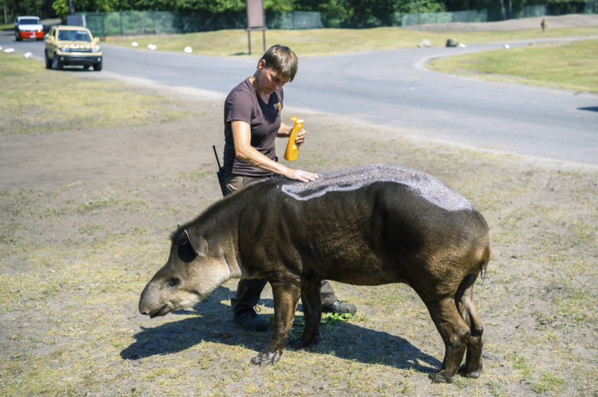 An animal keeper puts suntan lotion on a lowland tapir in an animal park in Hodenhagen, Germany