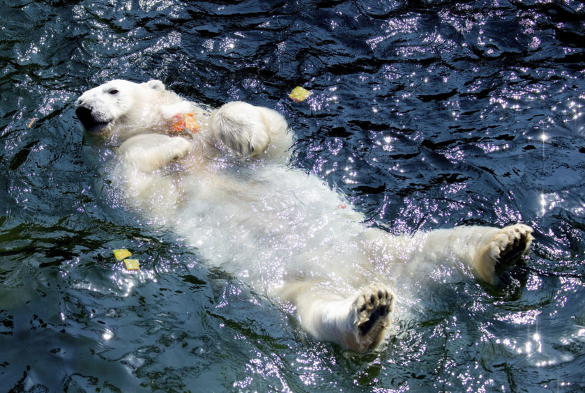 A polar bear swims in the water at the zoo in Hannover, Germany