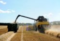 Barley harvest in Muir of Ord, near Inverness